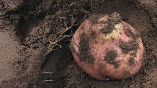 Peru'da Mars'a yakın koşullarda patates yetiştirildi