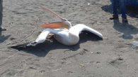 Sahilde Yaralı Pelikan