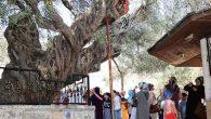 Hatay'da  1357 yıllık ağaç