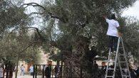 1350 yıllık ağaçtan zeytin hasadı …