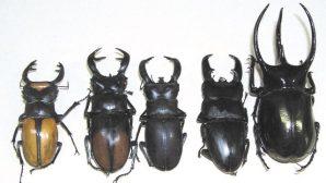 Geyik Böceği için koruma planı