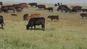100.000 Baş Sığır  İthal İhalesi!