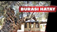 1350 yıllık ağaç