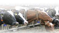 Sığır Fiyatı % 20,4 Arttı