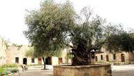 1200 Yıllık zeytinden çıkan yağı,