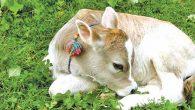 Samandağ Kaymakamlığından Hayvancılığa Destek Projesi: