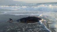 Samandağ sahilinde: Ölü Yunus!