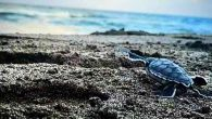 Samandağ Sahilinde Caretta