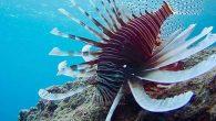 Pasifik Kökenli  Zehirli Balıklar…