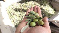 Yağış azlığı zeytin üretimini düşürdü …