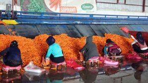 Havuç üreticisinin yağış sevinci