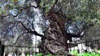 Tarihi Ağacın Meyvesi