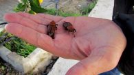 Kırmızı Palmiye Böceği Türkiye'ye Bela Oldu