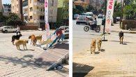 Reyhanlı caddelerindeki bu başıboş köpekler sahipli!