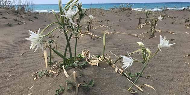 Sahilde gelişigüzel çıkan bir bitki-çiçek demeyin: