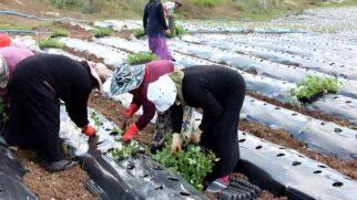 Hatay Büyükşehir Belediyesi'nden Yayladağı çilek üreticilerine destek