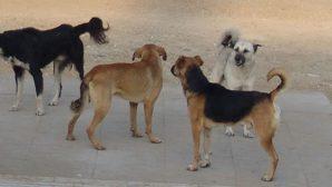 Başıboş Köpek İstilası Endişelendiriyor