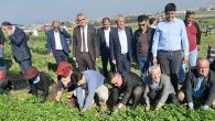 Türkiye'nin Maydanoz İhtiyacının Yüzde 55'i Arsuz'dan…