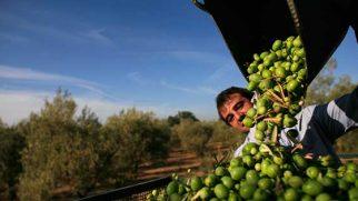 Hataylı üreticinin de gündemi Rekolte ve Afrin