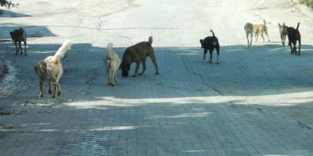 Kent, Başıboş Köpeklerle Dolu…