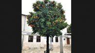 Meyve veren ağaçlar