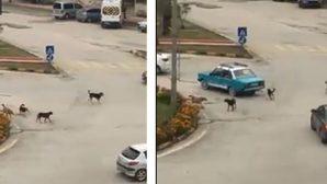 Bulvarda, Caddede başıboş köpek sürüsü…