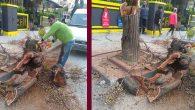 Kaldırım üzerindeki ağaç, kendiliğinden çöktü!