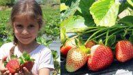 Zeytinin Başkentinde Alternatif Ürün: Çilek
