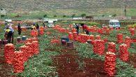 Amik Ovası çiftçisini sevindiren gelişme