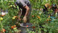 Amik Ovası'nda Alternatif Tarım