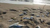 Asi'nin Çamurlu Suyu  Balıkları Öldürdü