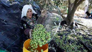 Hatay zeytin sektöründe Afrin Bekleyişi