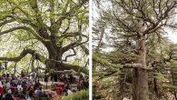 Samandağ'daki Ağaç,  2001 Yaşında…
