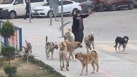 Köpekler Sürü Halinde Caddelerde