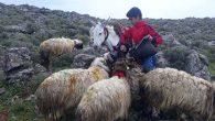 12 yaşında, 600 koyunu güdüyor…