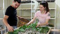 Kariyerini Bıraktı İpek Böcekçiliğine Başladı