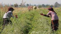 Kırıkhan'da Kavun Rekoltesi 60.000 Ton Civarında