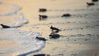 Yavru deniz kaplumbağaları, peyderpey denizle buluşuyor