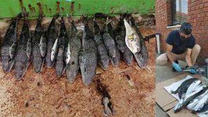 Hatay'dan 754 Balon  Balığı Alımı Yapıldı